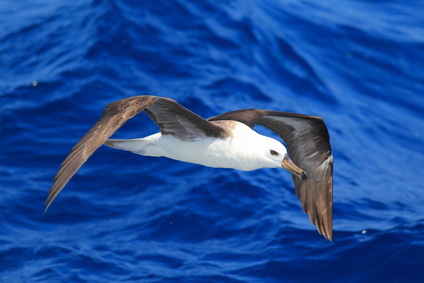 Black-browed albatross (Diomedea melanophris) in Australia